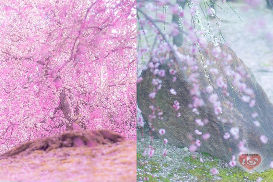 春のこもれびの中で。 ~京都、梅だより・城南宮~