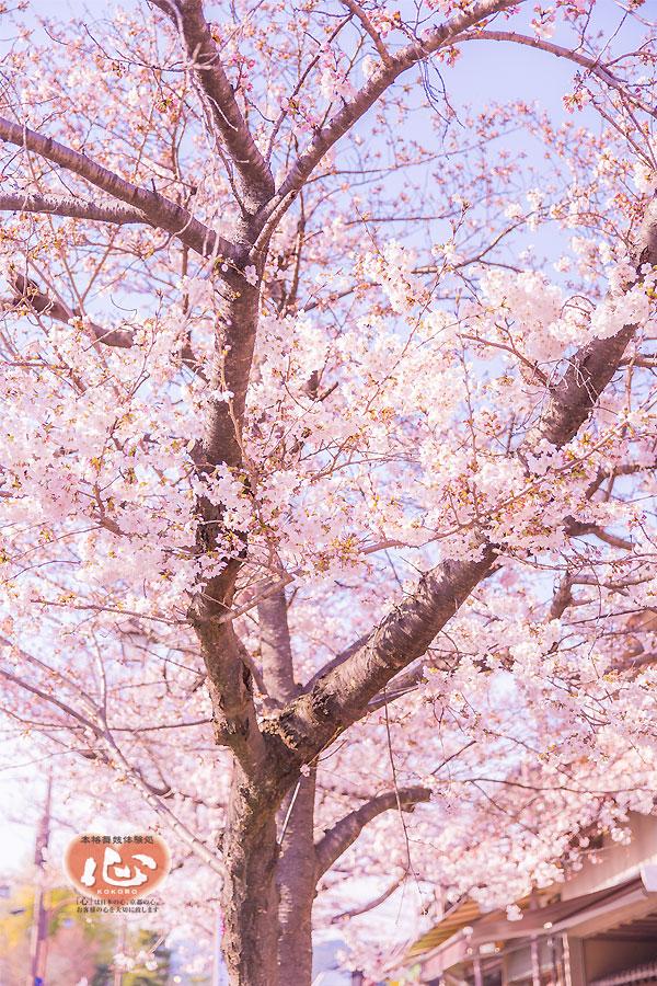 arashiyama-sakura1