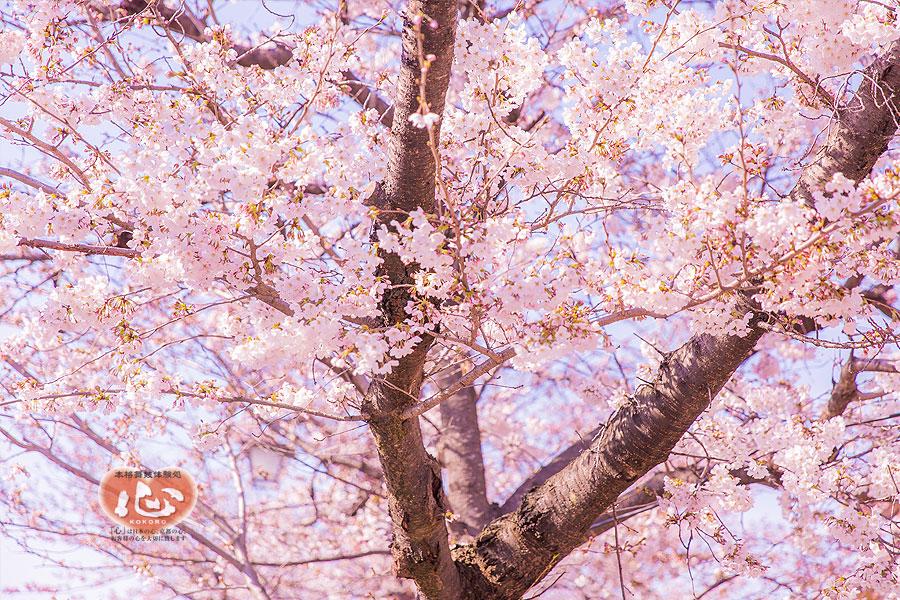 京都・桜だより2017~祇園・嵐山・岡崎~