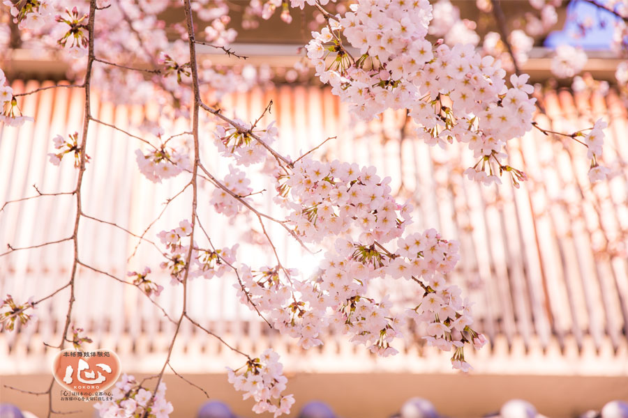 arashiyama-sakura3