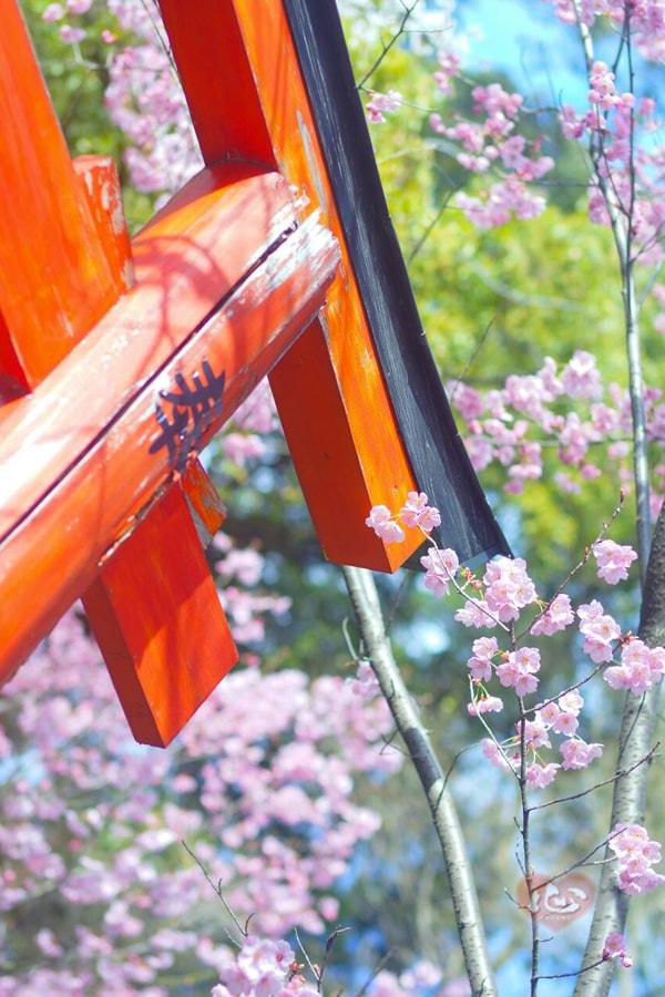 桜-min